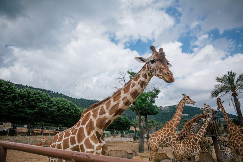 Jirafa en el parque zoológico Italia del safari del apulia de Fasano fotografía de archivo