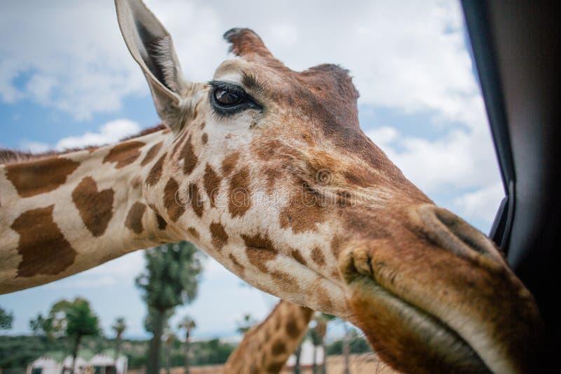 Jirafa en el parque zoológico Italia del safari del apulia de Fasano fotos de archivo