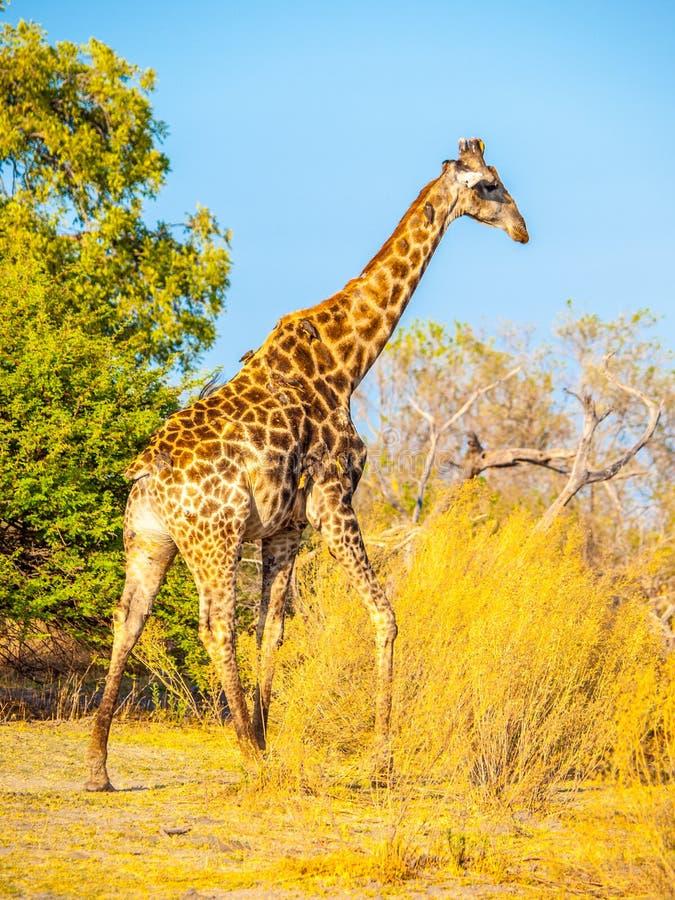Jirafa en hábitat natural foto de archivo libre de regalías