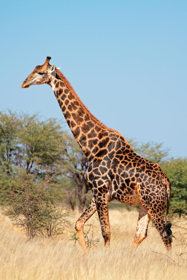 Jirafa en hábitat natural foto de archivo