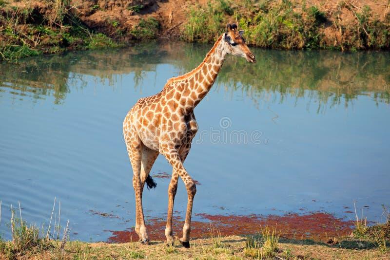 Jirafa en hábitat natural fotos de archivo libres de regalías