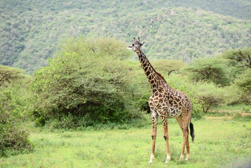 Jirafa en hábitat natural en parque natural africano foto de archivo libre de regalías