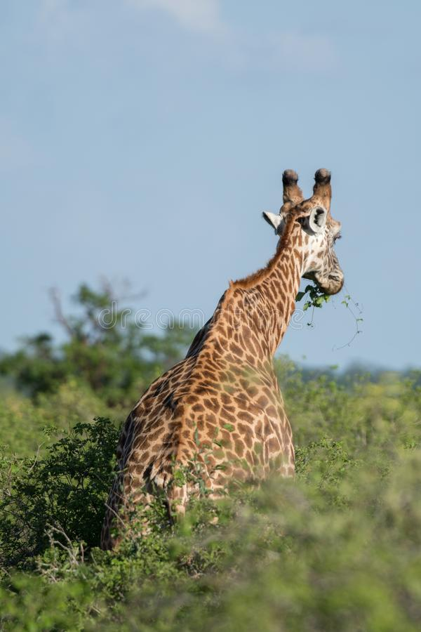Jirafa en Kenia, safari en Tsavo fotografía de archivo libre de regalías
