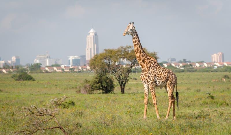 Jirafa en la ciudad de Nairobi la capital de Kenia foto de archivo libre de regalías