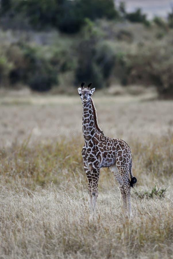 Jirafa en la sabana de África imagen de archivo
