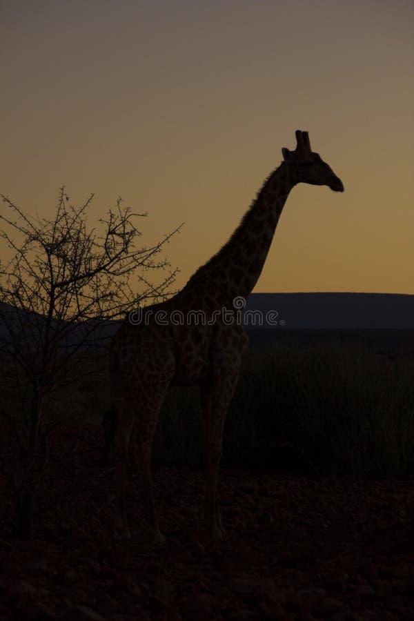 Jirafa en la salida del sol, Namibia fotos de archivo
