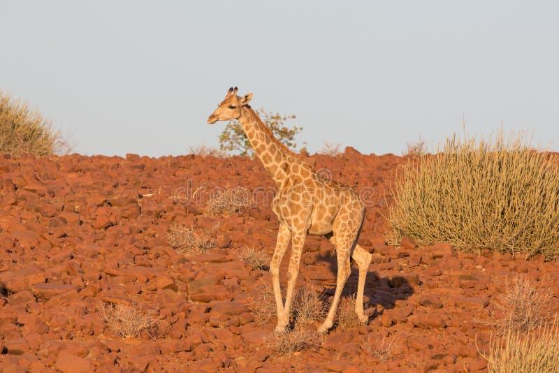 Jirafa en Namib foto de archivo
