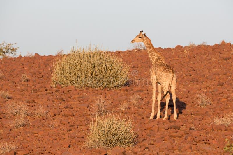 Jirafa en Namib foto de archivo libre de regalías
