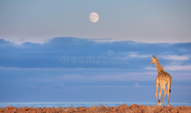 Jirafa en Namib fotos de archivo