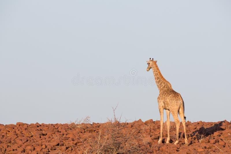Jirafa en Namib fotos de archivo libres de regalías