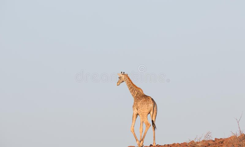 Jirafa en Namib imágenes de archivo libres de regalías