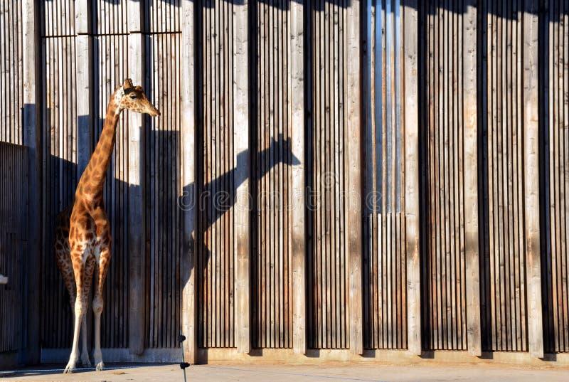 Jirafa en Parc de la Tete-d& x27; O y x28; zoo& x29; Lyon, Francia fotos de archivo