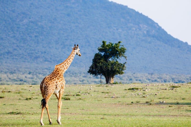 Jirafa en parque del safari imagenes de archivo