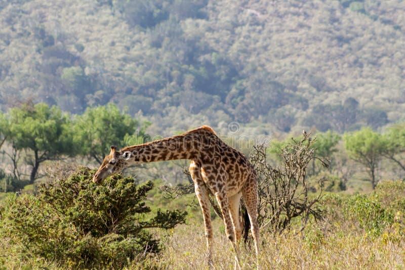 Jirafa en parque nacional de la protección de la fauna de África imágenes de archivo libres de regalías