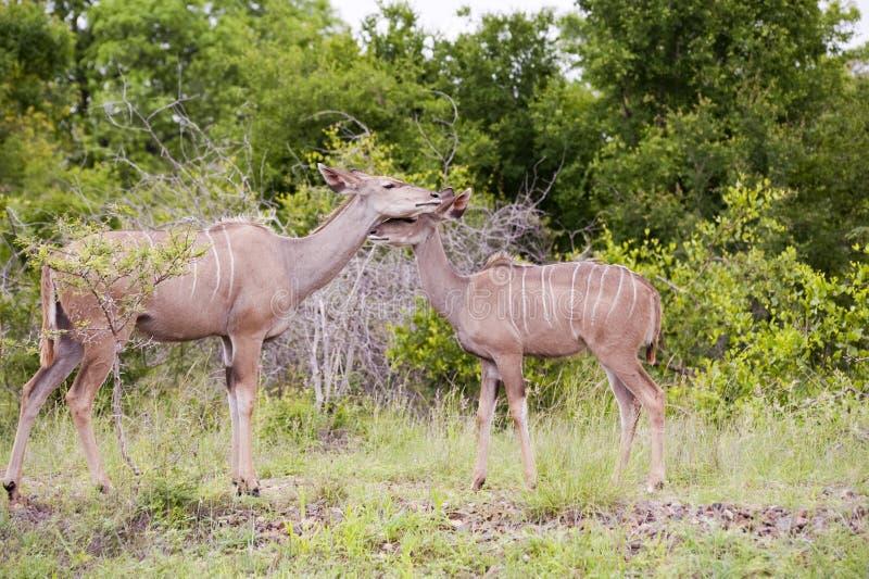 Jirafa en parque nacional del kruger fotografía de archivo libre de regalías