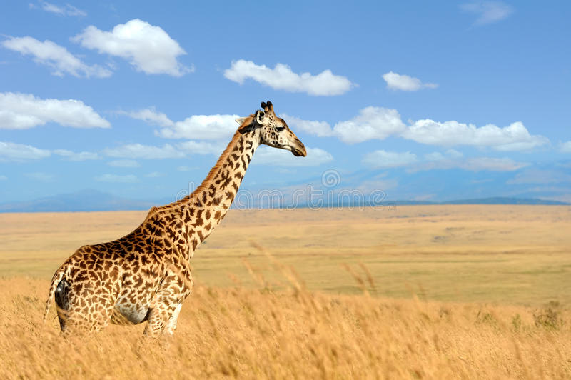 Jirafa en sabana en África foto de archivo