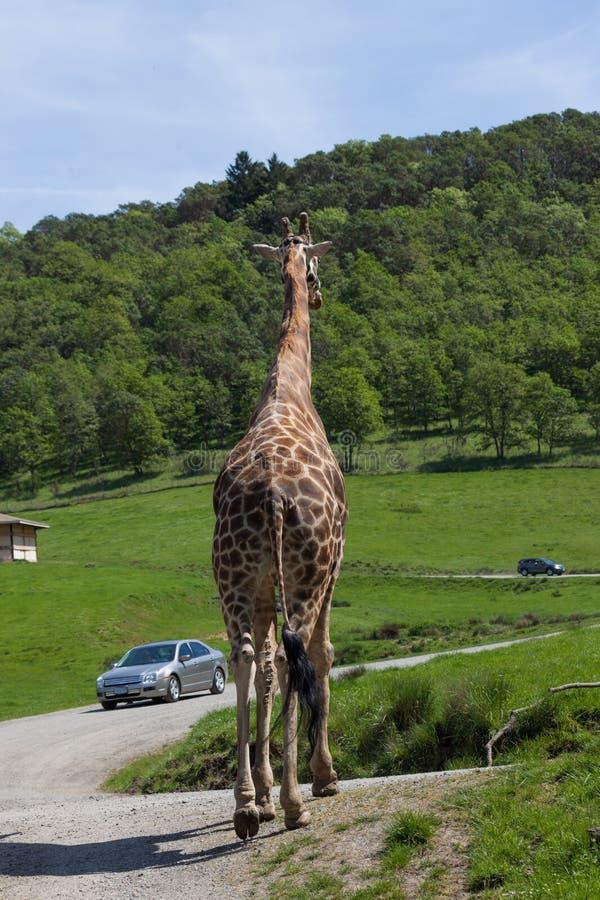 Jirafa en Safari Tour imagen de archivo libre de regalías