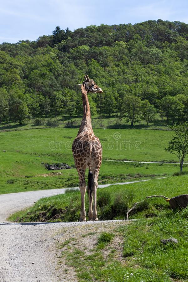 Jirafa en Safari Tour imagenes de archivo