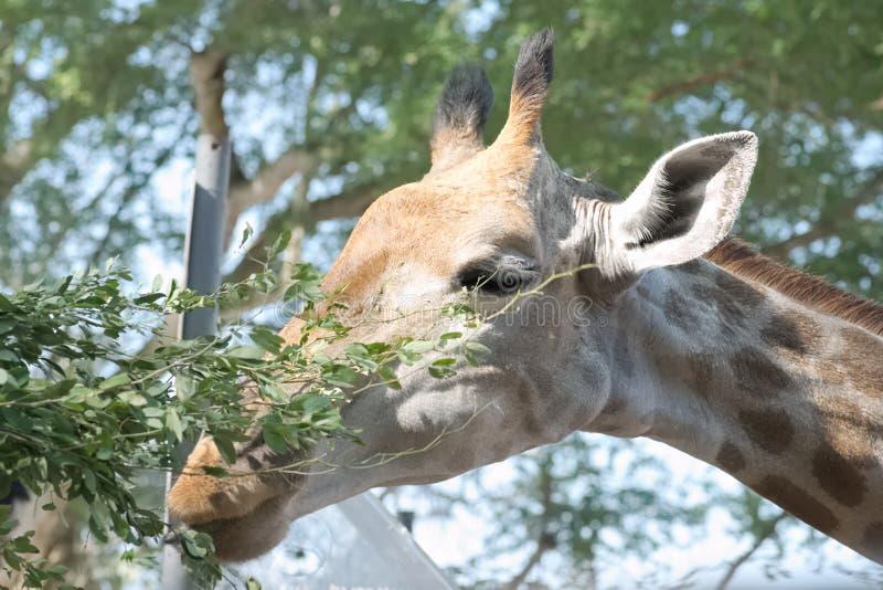 Jirafa en Suráfrica foto de archivo libre de regalías