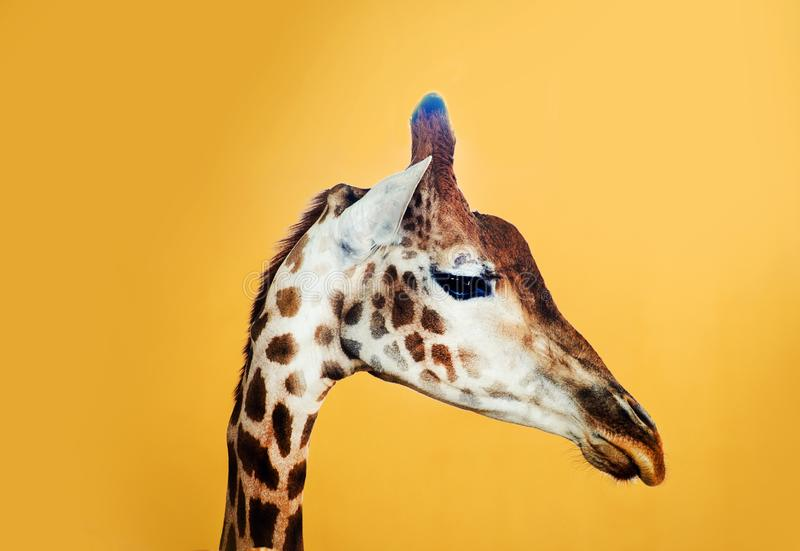 jirafa en un fondo amarillo imagenes de archivo