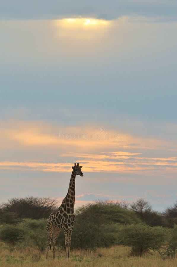 Jirafa - fondo africano de la fauna - puesta del sol de la dicha y del color fotos de archivo