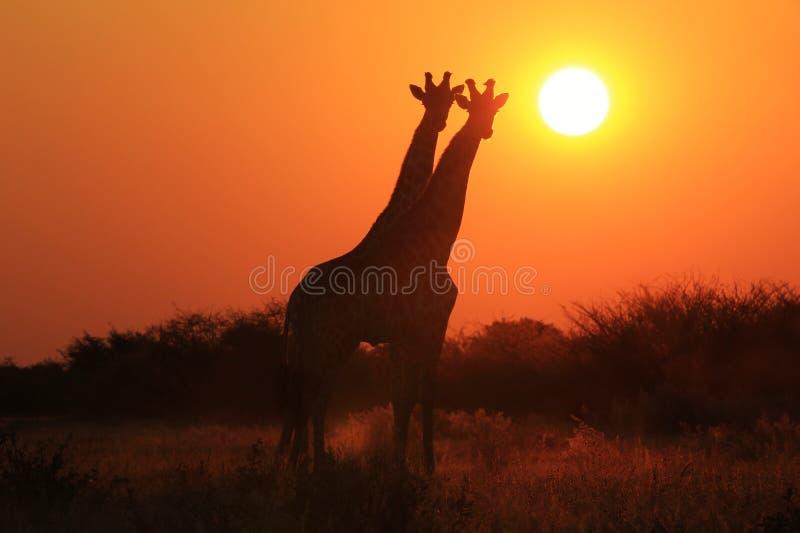 Download Jirafa - Fondo De La Fauna - Gemelos De La Puesta Del Sol Imagen de archivo - Imagen de adorne, contexto: 41909419