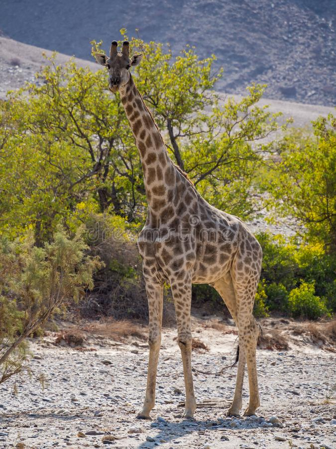 Jirafa grande que se coloca en la cama de río seca rocosa con los árboles verdes, Damaraland, Namibia, África meridional imagen de archivo
