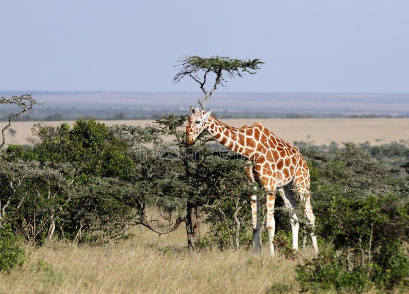 Jirafa hermosa alta en la conservación del pejeta de Ol, Kenia fotos de archivo libres de regalías