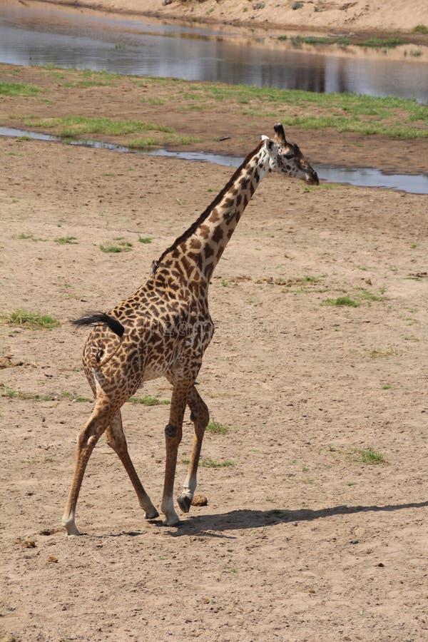 Jirafa, lo más beautfully posible criatura que atrae a la mayoría del turista en el parque nacional del ruaha fotos de archivo