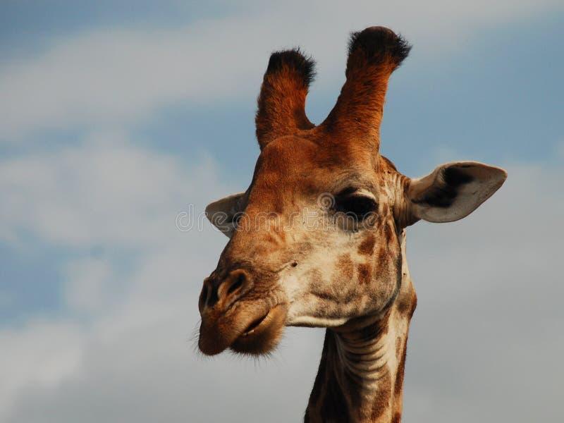 Jirafa Parque internacional de Kgalagadi Northern Cape, Suráfrica fotos de archivo