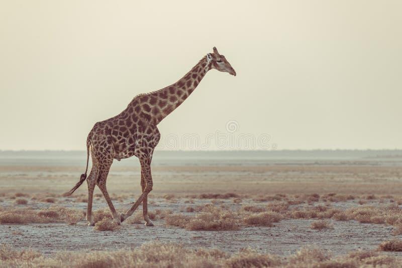 Jirafa que camina en el arbusto en la cacerola del desierto en la puesta del sol Safari de la fauna en el parque nacional de Etos fotografía de archivo