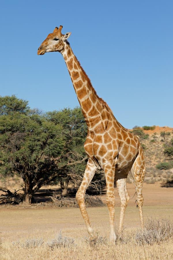 Jirafa que camina en hábitat natural fotografía de archivo