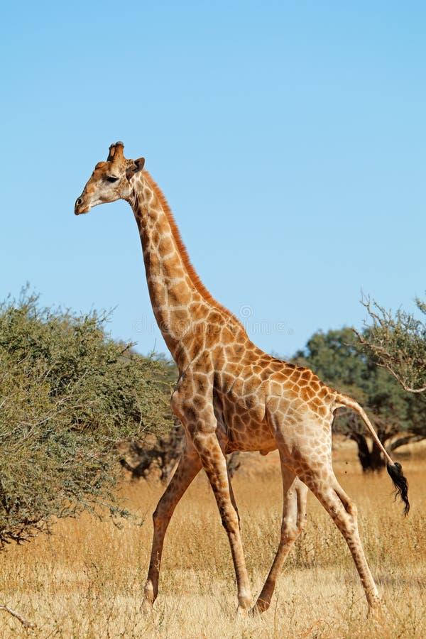 Jirafa que camina en hábitat natural foto de archivo