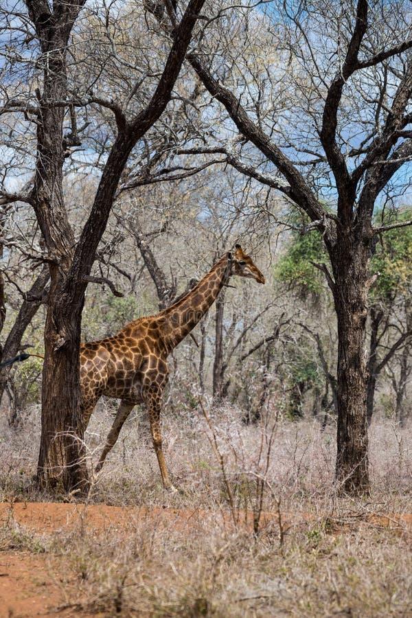 Jirafa que camina en la sabana africana, Suráfrica imagen de archivo libre de regalías