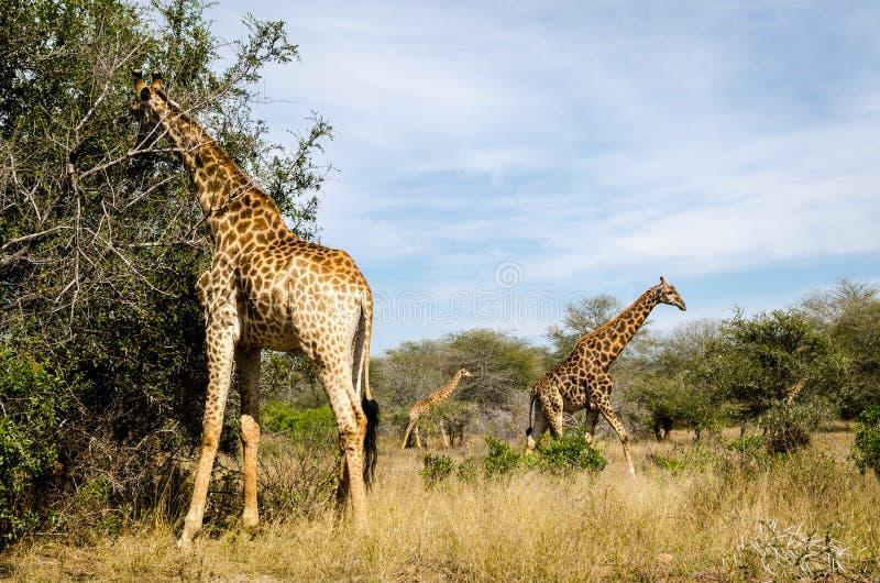 Jirafa que come las hojas del árbol Animales del safari de Suráfrica imagenes de archivo