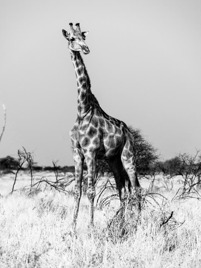 Jirafa que se coloca en la sabana Escena africana del safari de la fauna en el parque nacional de Etosha, Namibia, África Rebecca imagenes de archivo