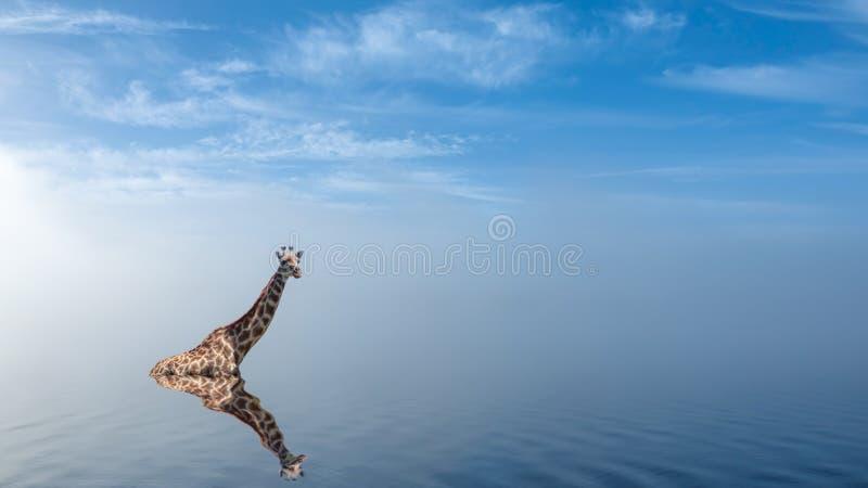 Jirafa que toma un baño en el lago con niebla pacífica fotos de archivo libres de regalías