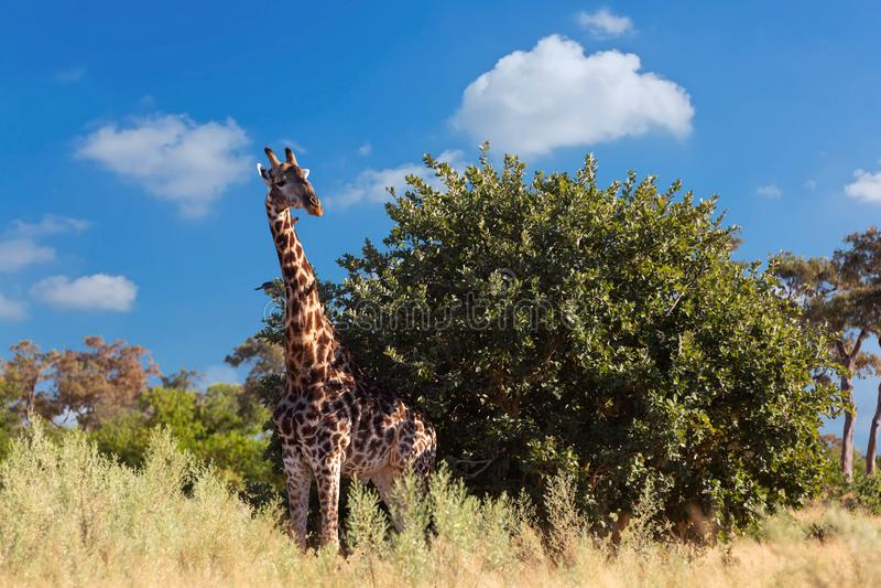 Jirafa surafricana, safari de la fauna de África imagenes de archivo