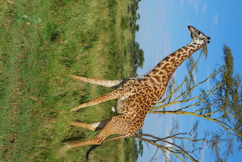 Jirafa Tanzania imagen de archivo