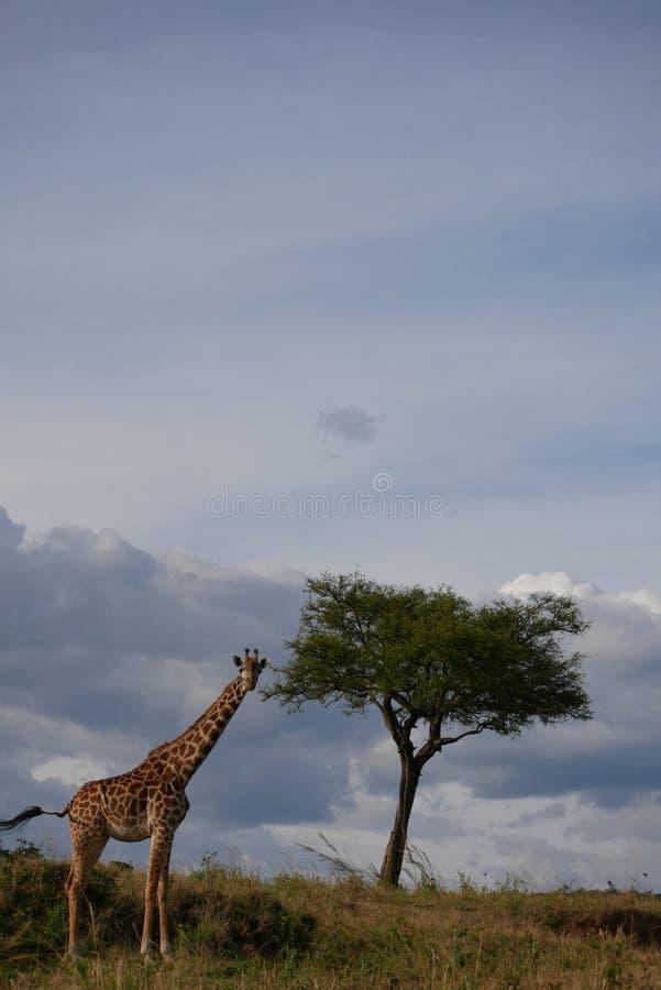 Jirafa y árbol solitario imagenes de archivo