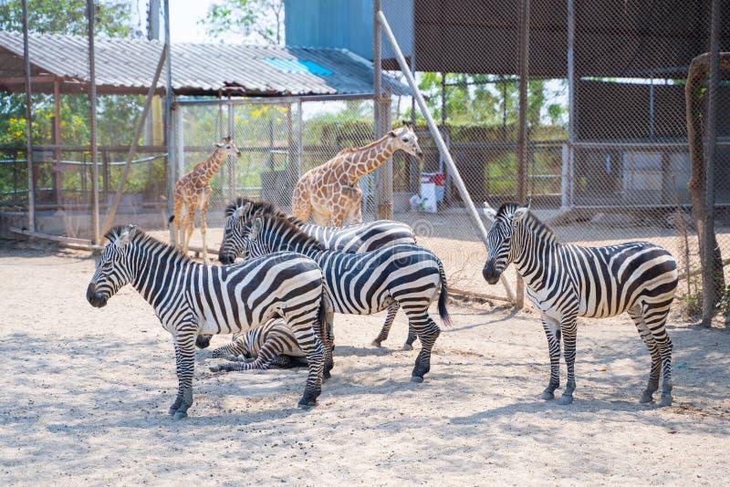 Jirafa y cebra en el parque del safari fotografía de archivo