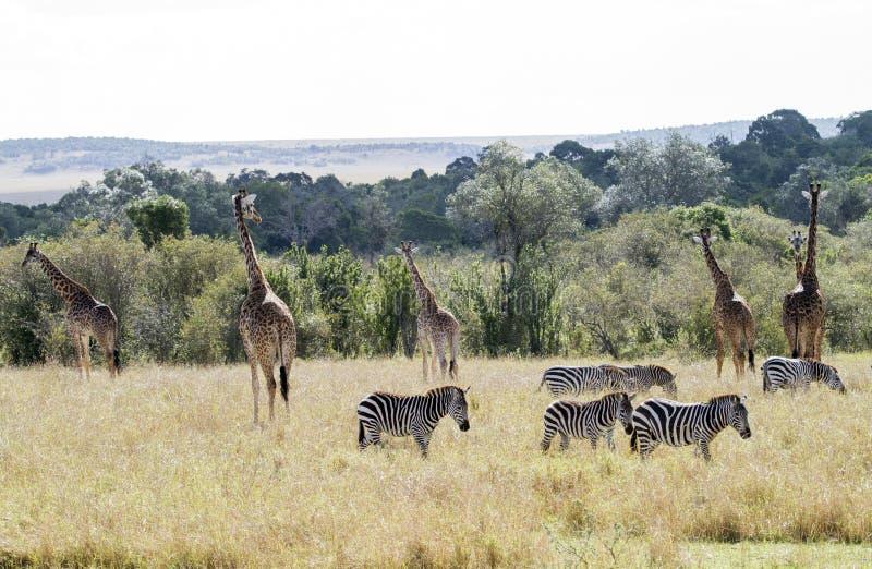 Jirafa y cebra en Kenia foto de archivo