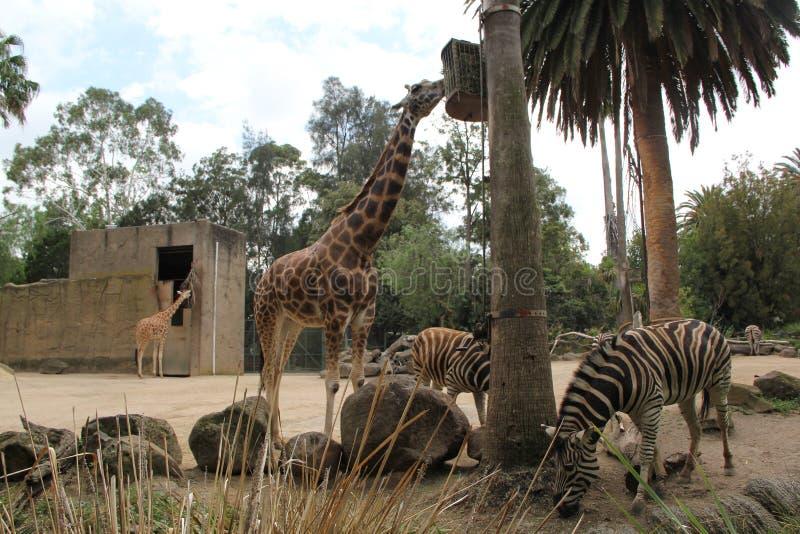Jirafa y cebras II fotos de archivo