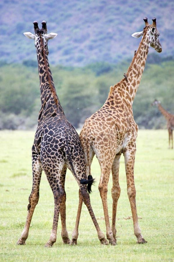 Jirafas bicolores (camelopardalis del Giraffa) foto de archivo