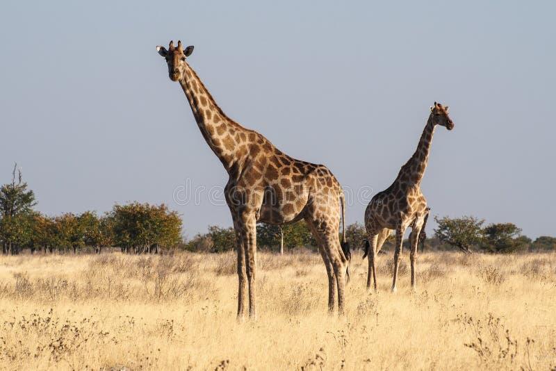 Jirafas, camelopardalis del Giraffa en el parque nacional de Etosha, Namibia fotos de archivo libres de regalías