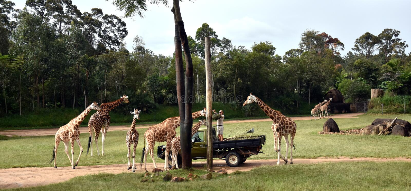 Jirafas de alimentación de Zookeper en el objeto expuesto africano del safari imágenes de archivo libres de regalías
