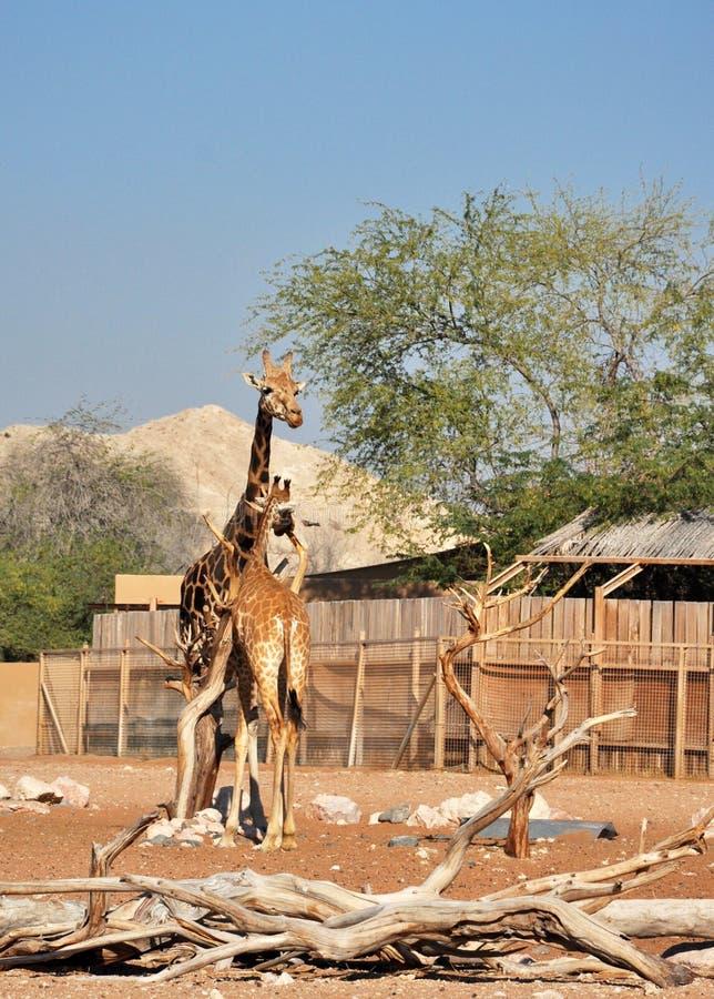 Jirafas en Al Ain Zoo foto de archivo