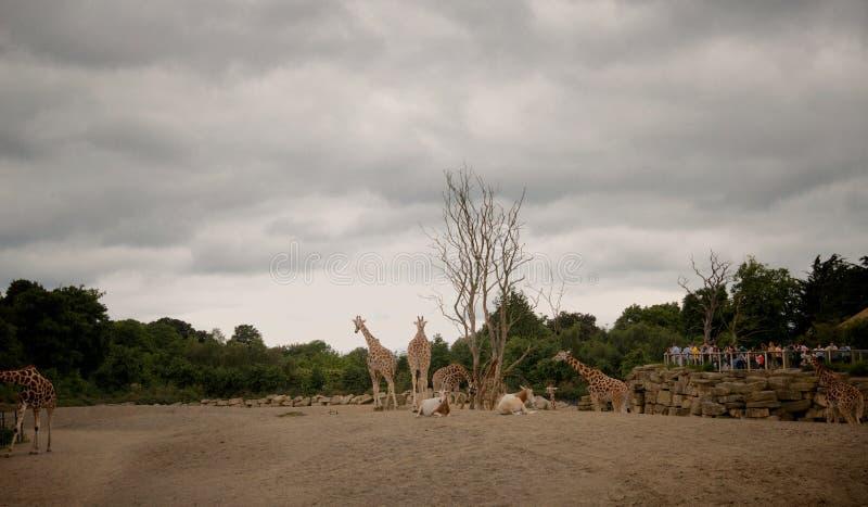 Jirafas en el parque nacional del monte Kenia imágenes de archivo libres de regalías