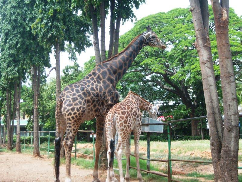 Jirafas en el parque zoológico de Mysore foto de archivo