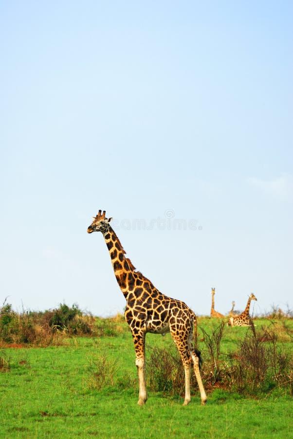 Jirafas en la sabana africana, Uganda foto de archivo